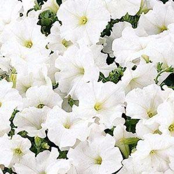 Petunia 'Easy Wave® White'