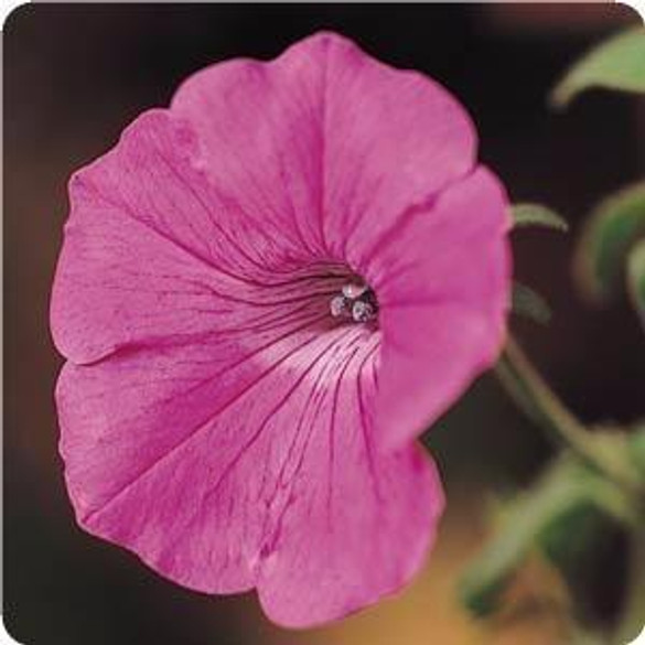 Petunia 'Tidal Wave® Hot Pink'