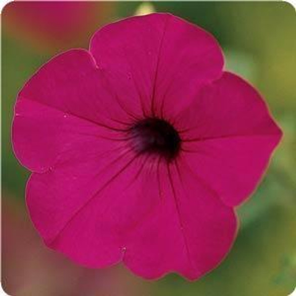 Petunia 'Tidal Wave® Purple'