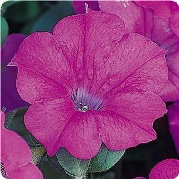Petunia 'Wave® Lavender'