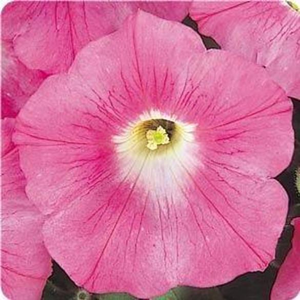 Petunia 'Wave® Pink'