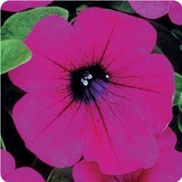 Petunia 'Wave® Purple Classic'
