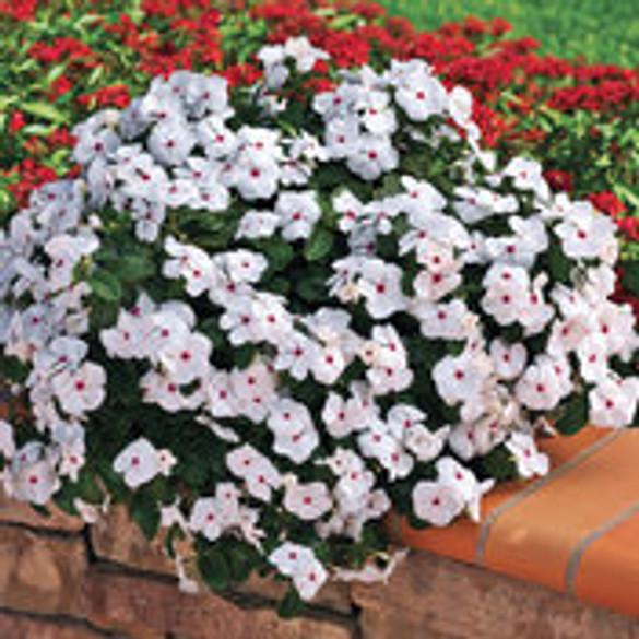 Vinca Catharanthus 'Cora® Cascade Polka Dot'
