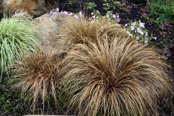 Carex comans 'Bronco'™