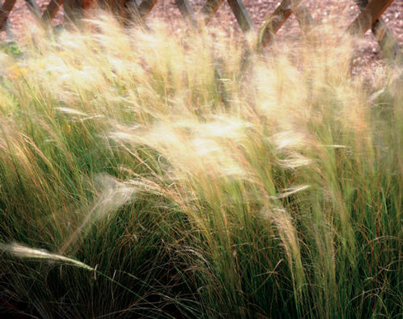 Stipa tenuissima 'Mexican Feather Grass'