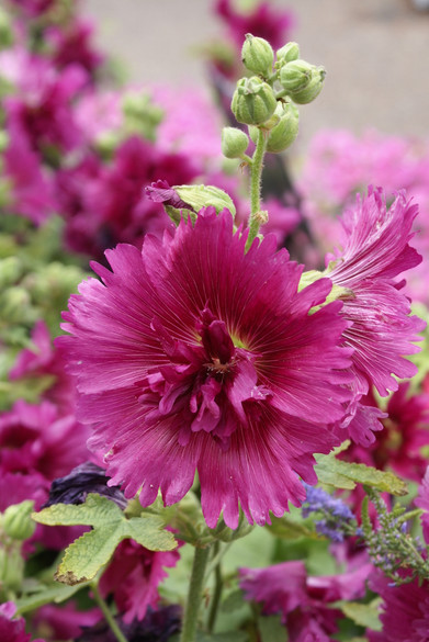 Alcea rosea 'Queeny Purple'