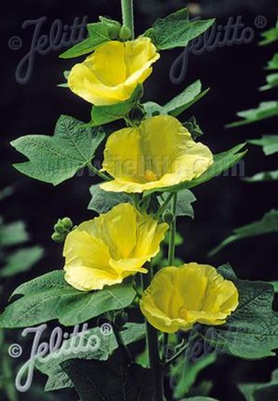 Alcea rosea 'Spotlight Sunshine'