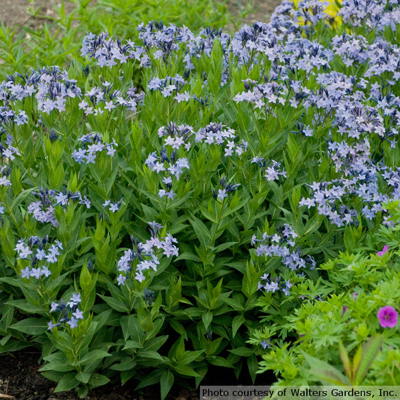 Amsonia x 'Blue Ice'