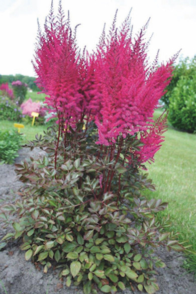 Astilbe chinensis 'Mighty Chocolate Cherry'