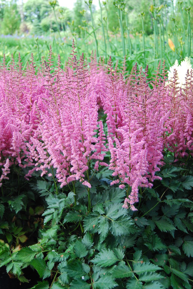 Astilbe chinensis 'Visions in Pink' PP11860