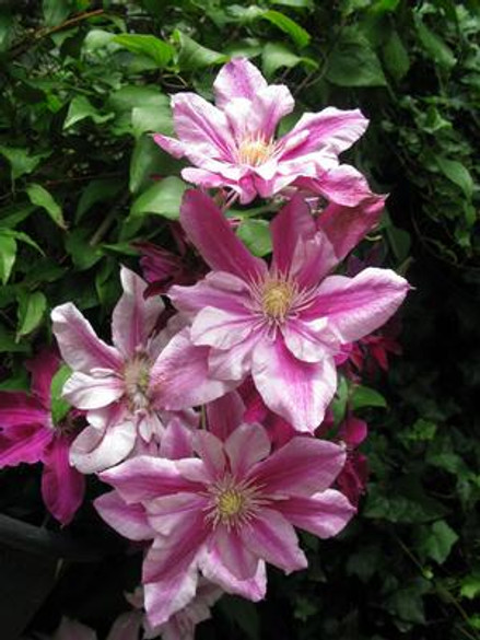 Clematis 'Patricia Ann Fretwell™'