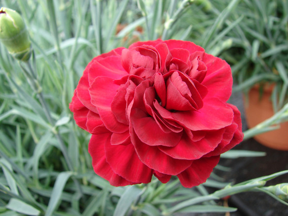 Dianthus Scent First 'Passion'