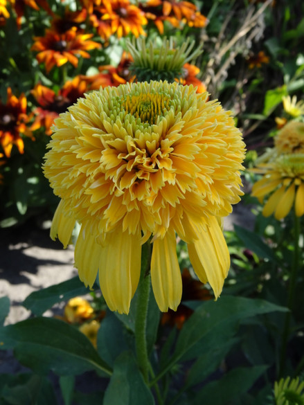 Echinacea CONE-FECTIONS 'Lemon Drop'