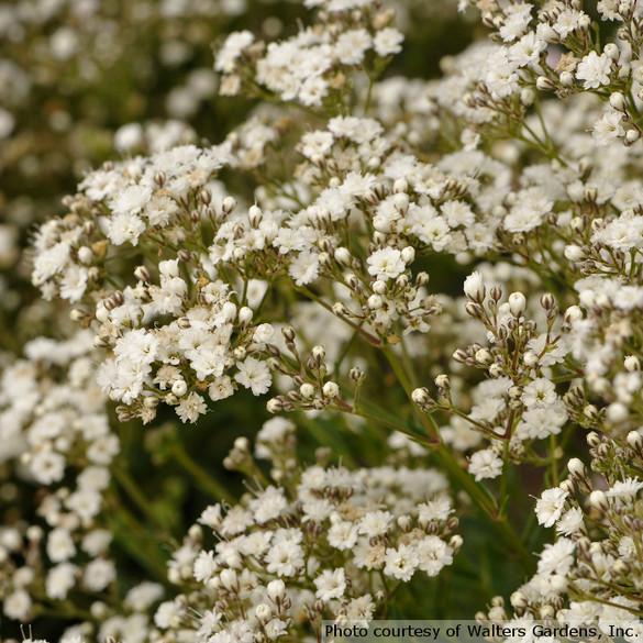 Gypsophila paniculata 'Festival Star'