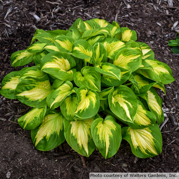 Hosta SHADOWLAND® 'Etched Glass'