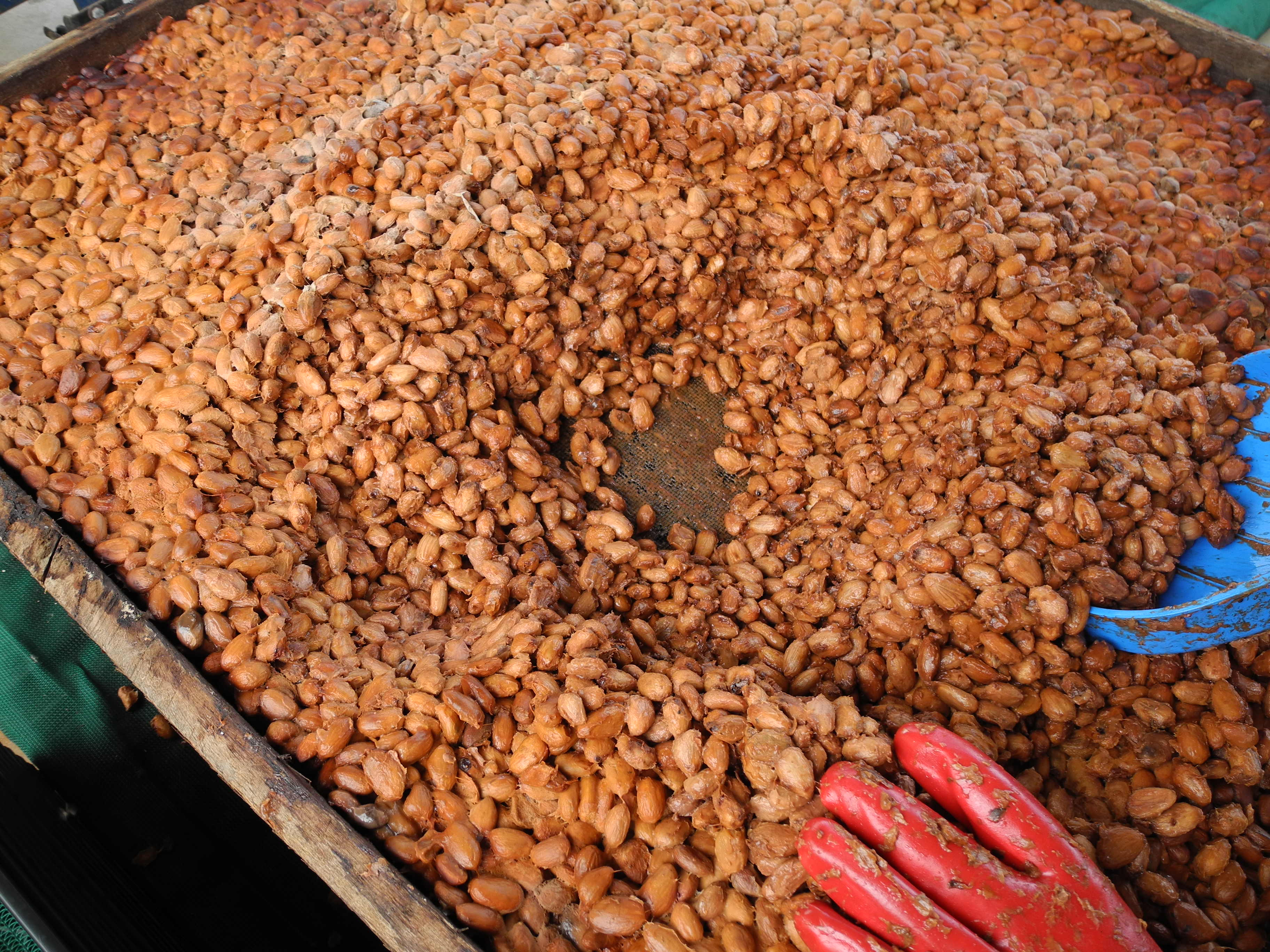 fermenting cocoa beans