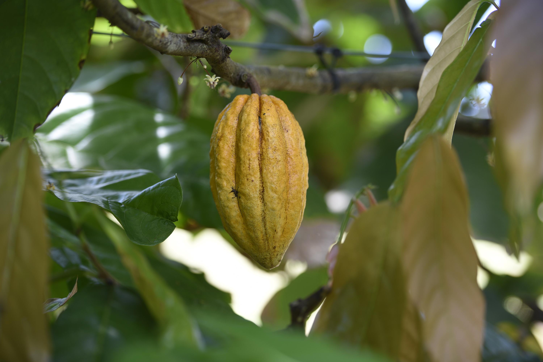 A ripe cocoa pod at our Mt Edna plantation
