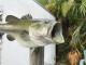 """22"""" Largemouth Bass Full Mount"""