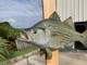 """19"""" Sunshine Bass Full Mount"""