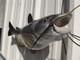 "29"" Channel Catfish Full Mount"