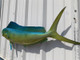 """42"""" Cow Dolphin Full Mount-L"""