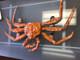 "Alaska King Crab Mount - 42"" Two Sided Wall Mount Fish Replica"