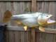 "Golden Dorado Fish Mount - 40"" Two Sided Wall Mount Fish Replica"