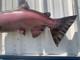 """41"""" King Salmon Full Mount"""