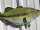 "23"" Largemouth Bass Half Mount Fish Replica - Right Facing"