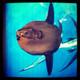 "55"" Mola Mola (Sunfish) 3D Fish Mount Replica - Suspension Mount"