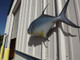 """Permit Fish Mount - 34"""" Two Sided Wall Mount Fish Replica"""