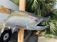 """Coho Salmon Fish Mount - 30"""" Two Sided Wall Mount Fish Replica"""