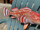"""Scorpion Fish Mount - 22"""" Two Sided Wall Mount Fish Replica"""