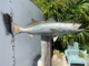 """24"""" Seatrout Full Mount"""