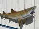 """77"""" Lemon Shark Full Mount"""