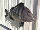 "25"" Sheepshead Fish Mount"