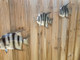 Spadefish Set of 3 - Spadefish Fish Mount - Two Sided Wall Mount Fish Replica