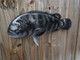 """Tautog Fish Mount - 25"""" Two Sided Wall Mount Fish Replica"""