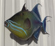 """Triggerfish, Queen Fish Mount - 24"""" Two Sided Wall Mount Fish Replica"""