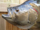 """Tripletail Fish Mount - 31"""" Two Sided Wall Mount Fish Replica"""