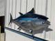 "75"" Bluefin Tuna Half Sided Fish Mount"