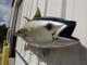 """52"""" Yellowfin Tuna Full Mount"""