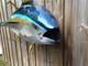 """60"""" Yellowfin Tuna Full Mount"""