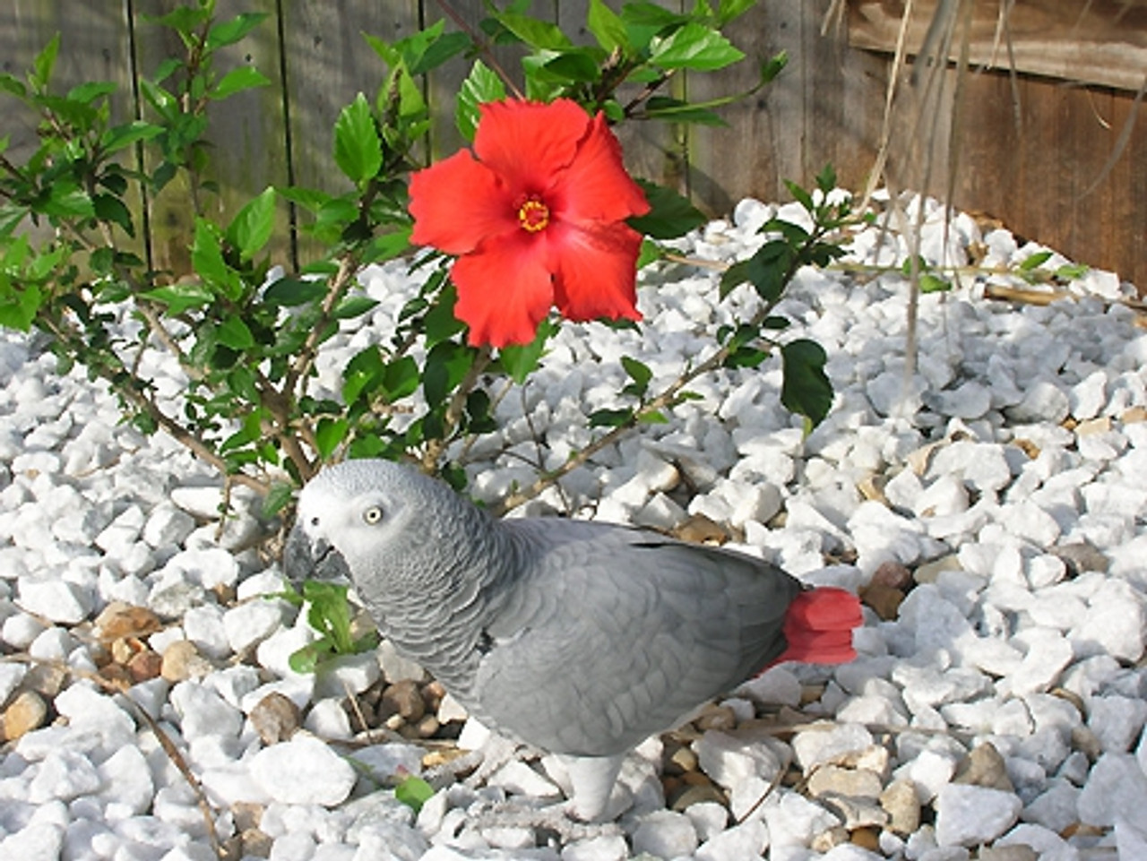 "African Grey ""Marcus"" - A devoted bird"