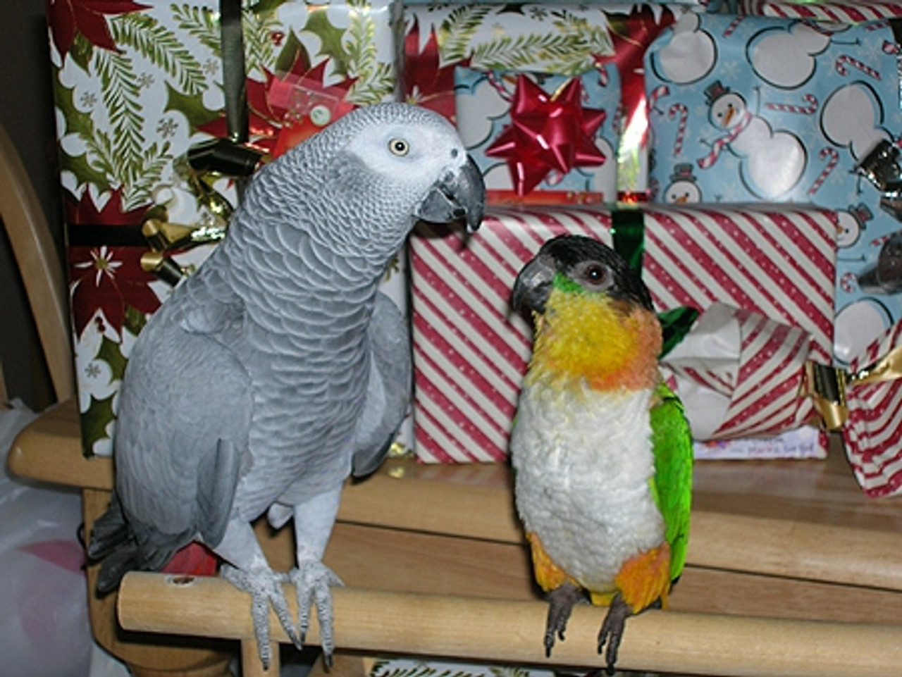"Caique ""Miley"" and African Grey ""Marcus"""
