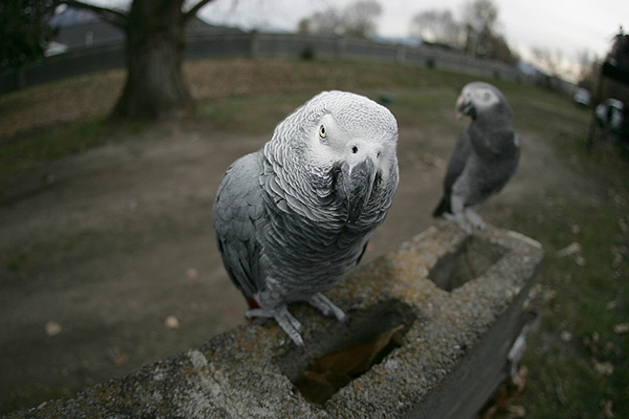 Two African Grey hanging out in the backyard