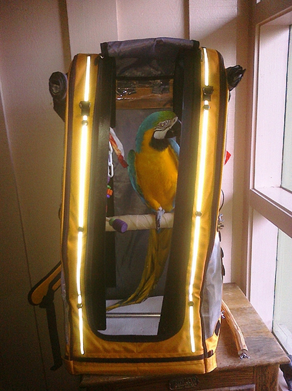 Misses Sierra, the blue and gold macaw
