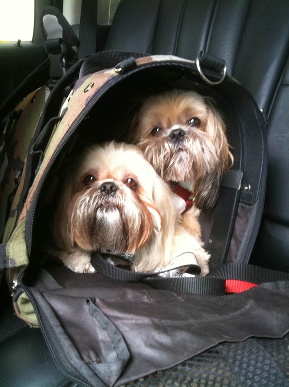 """Bosoc and Foxie """"live"""" in their Celltei carrier"""