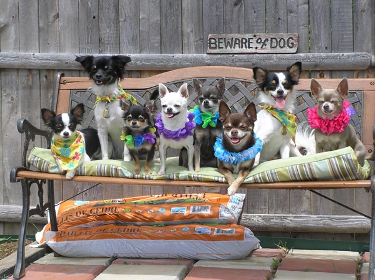 April's eight Chihuahuas (2008 Winner)