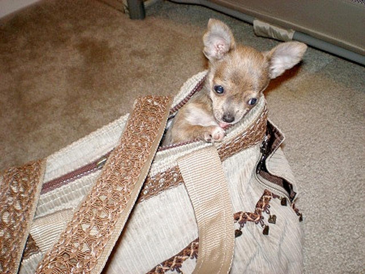 Carol's Chihuahua